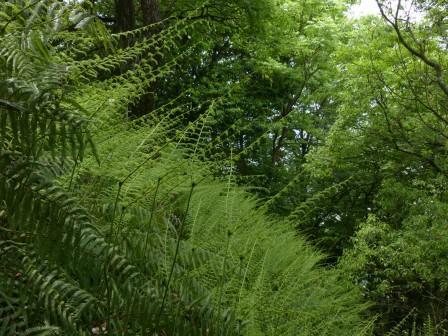 シダ植物 1