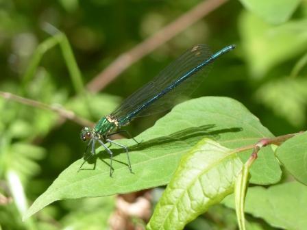 アサヒナカワトンボ 透明翅型 1
