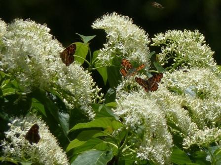 サカハチョウ (ミズキの花と) 1