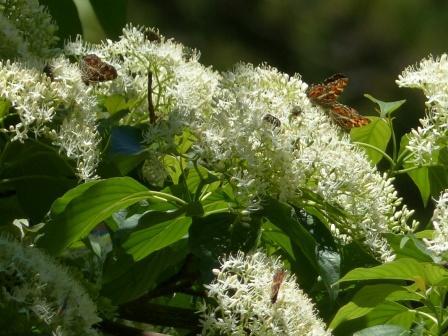 サカハチョウ (ミズキの花と) 3