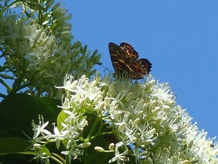 サカハチョウ (ミズキの花と) 2