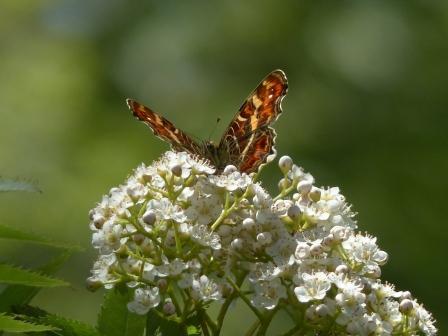 サカハチョウ (ナナカマドの花と)
