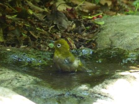 メジロ の水浴び 1