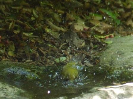 メジロ の水浴び 2