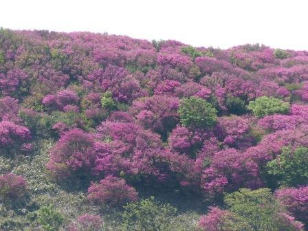 ツルギミツバツツジ の風景 3