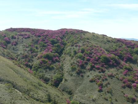 ツルギミツバツツジ の風景 2