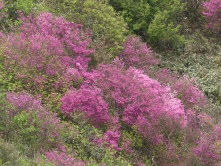 ツルギミツバツツジ の風景 8