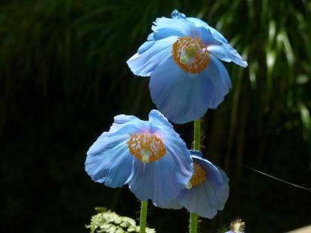 ヒマラヤの青いケシ 2