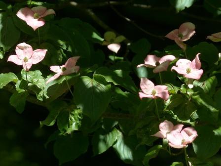 ヤマボウシ (ピンク) 2