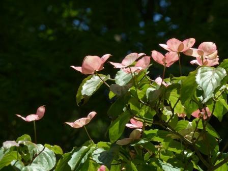 ヤマボウシ (ピンク) 3