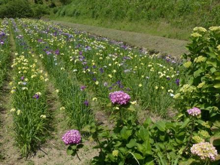 花菖蒲 & 紫陽花