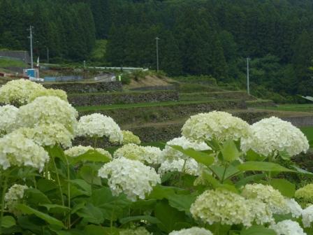 紫陽花 & 棚田