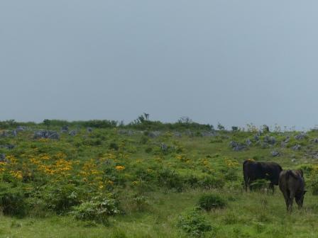 高原の牛 3