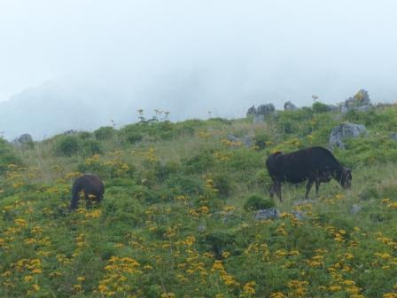 高原の牛 2