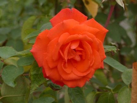 かわら館のバラ フリューテ
