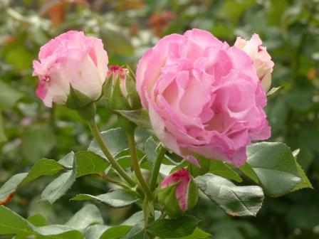 かわら館のバラ ボーターローズ