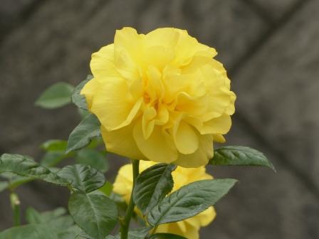 かわら館のバラ トモロー