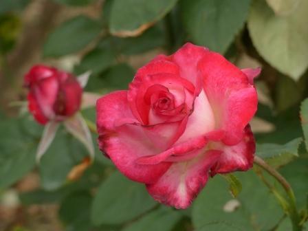 かわら館のバラ バースディ キャンドル