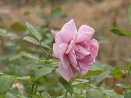 かわら館のバラ ライラックタイム
