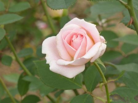 かわら館のバラ ピンクシフォン