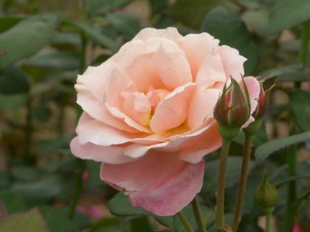 かわら館のバラ マパーキンス