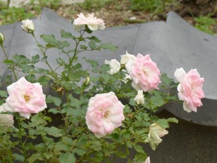 かわら館のバラ スマイル福山