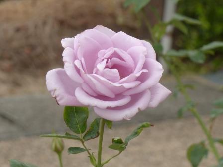 かわら館のバラ ブルームーン