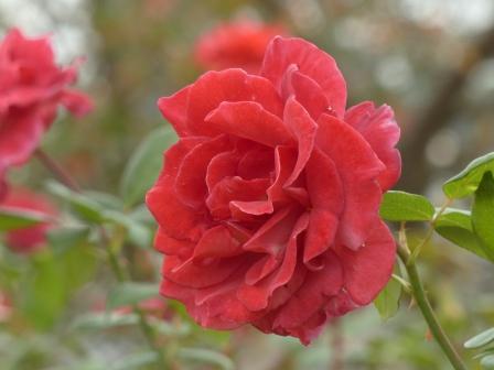 かわら館のバラ ブラックティー