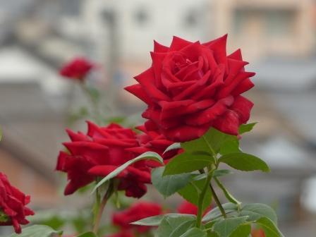 かわら館のバラ エースオブハーツ