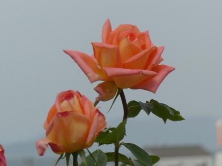 かわら館のバラ ビクターボーク