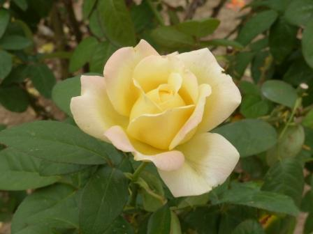 かわら館のバラ ムーンライトセレナーデ