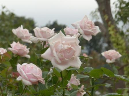 かわら館のバラ メルヘンケニギン