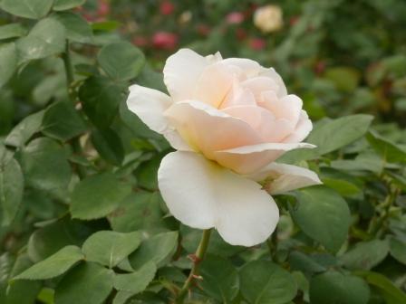 かわら館のバラ プレイ