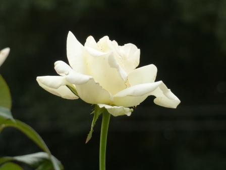かわら館のバラ 初恋
