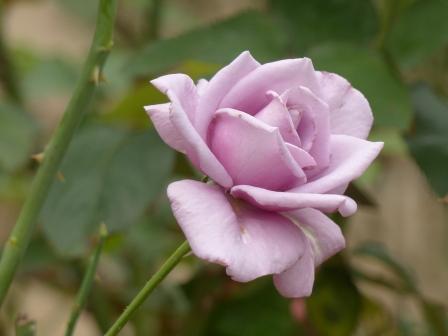 かわら館のバラ ブルーシャトー