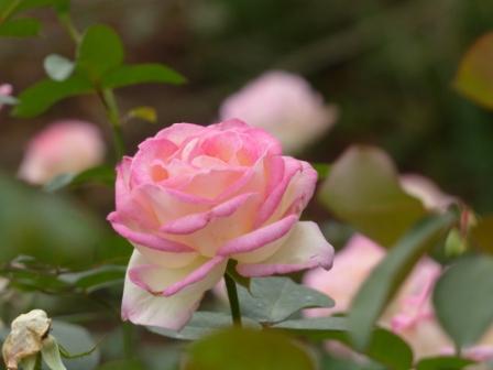かわら館のバラ プリンセス ド モナコ
