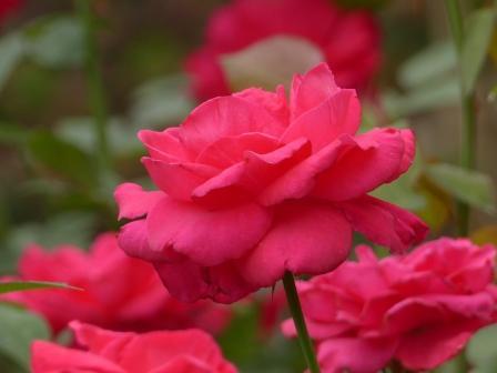 かわら館のバラ ランデブー