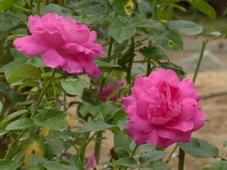 かわら館のバラ マヌーメイアン