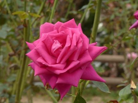 かわら館のバラ マリンブルー