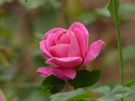 かわら館のバラ ピンクピース