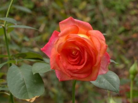 かわら館のバラ サイウン
