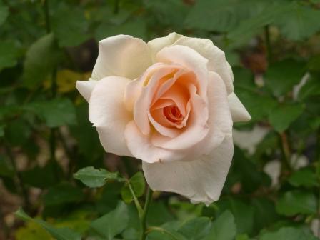 かわら館のバラ ヨハン シュトラウス