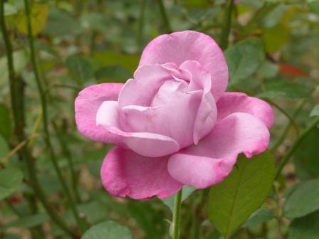 かわら館のバラ ブルーリバー