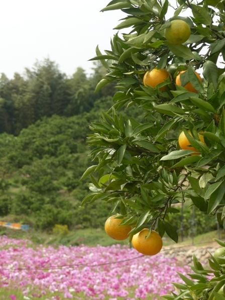 柑橘とコスモス