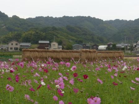 稲木とコスモス 4