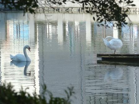 お堀の白鳥 5