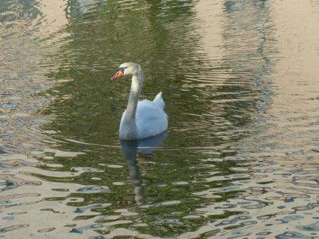 お堀の白鳥 4