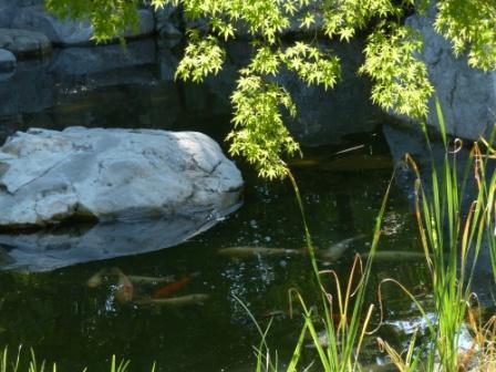 ヤマモミジ & 鯉