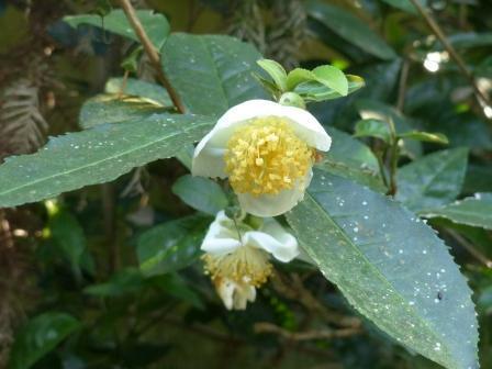 チャノキ の花 1