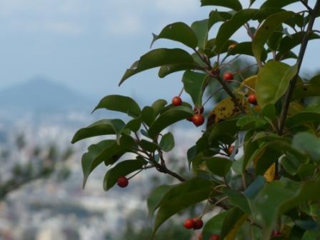 ソヨゴ の果実 3